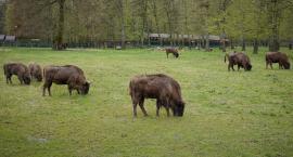 Mija 90 lat od momentu restytucji żubra w Puszczy Białowieskiej