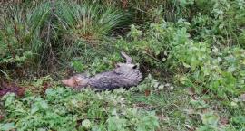 Leśnicy pomogli rannemu wilkowi