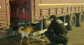 Trzy trafienia przemytników za jednym zamachem. Pomógł pies