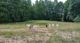 Ataki wilków na Podlasiu są uciążliwe dla rolników
