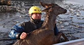 Leśnicy pomogli tonącemu jeleniowi