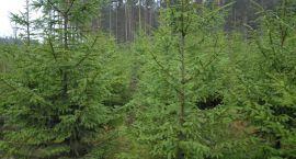 Nie ma to jak choinka prosto z lasu