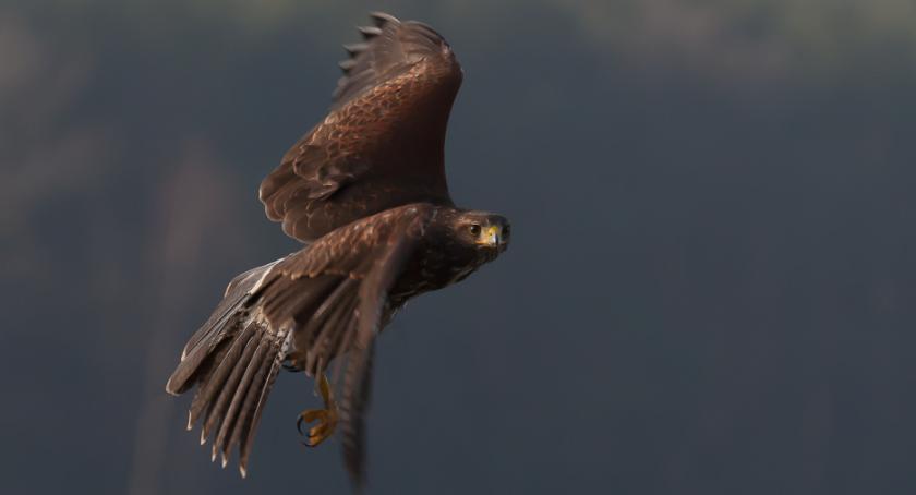 Pamiętacie kradzież drapieżnego ptaka? Złodziej złapany!