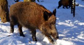 Ludzki pot odstraszy dziki od blokowisk?