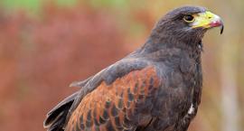 Kradzież drapieżnego ptaka. Najdziwniejsza sprawa kryminalna z Targówka.
