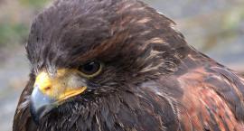 Kradzież drapieżnego ptaka na Targówku