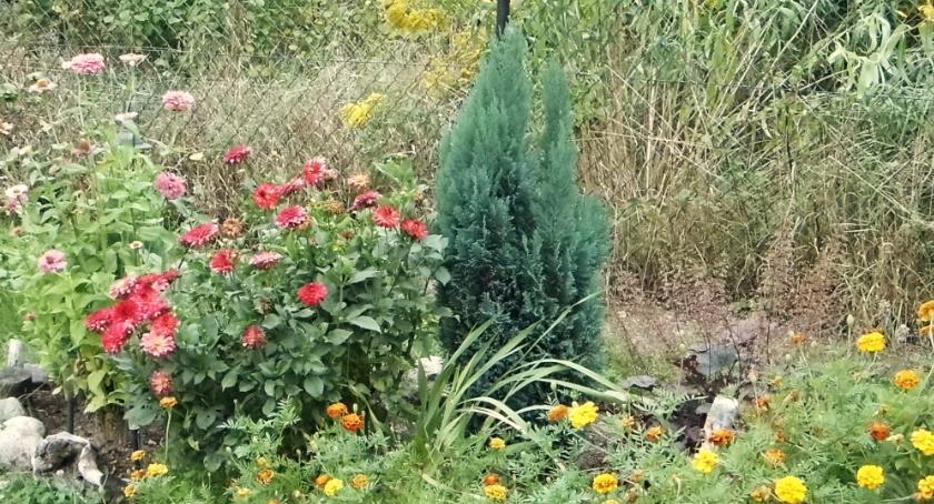 Konkurs, Wybrali najpiękniejsze ogrody Lipnie - zdjęcie, fotografia