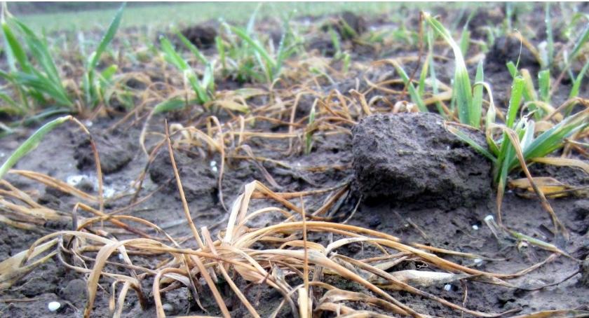 Uprawy, Komisje szacują straty - zdjęcie, fotografia