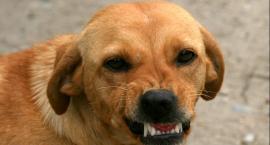 Psy terroryzują  mieszkańców gminy Wielgie