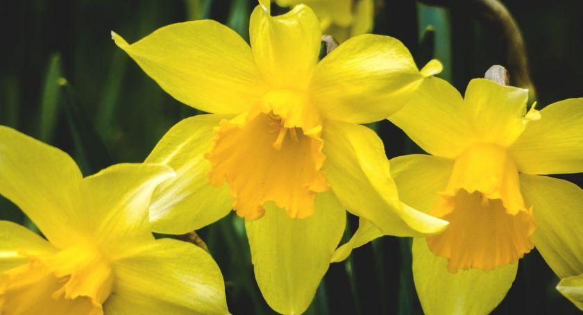 Żółte żonkile