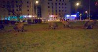 Safari w Warszawie. Dziki grasują przy metrze Młociny [FILM]