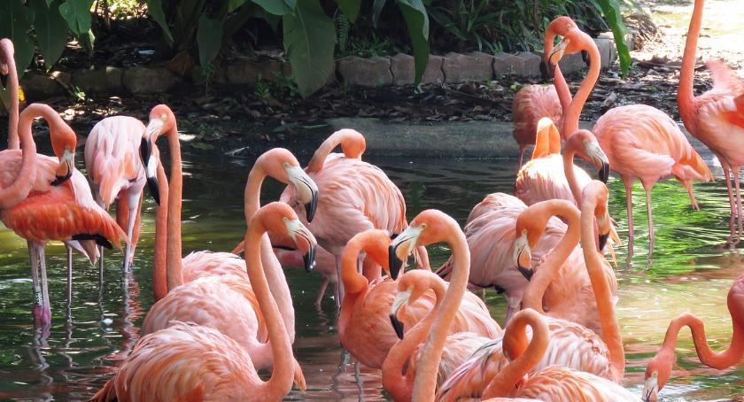 News, Młode flamingi warszawskim Trwają przygotowania - zdjęcie, fotografia