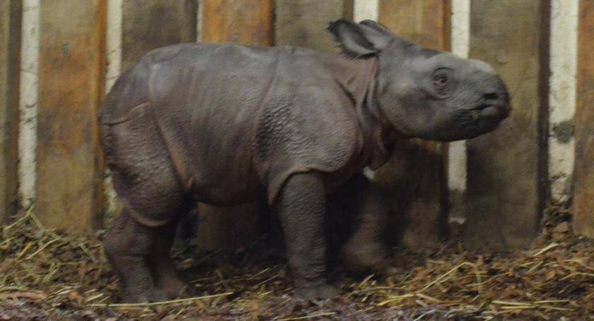 Zwierzęta, świat przyszedł mały nosorożec - zdjęcie, fotografia