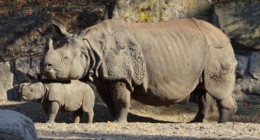 Zwierzęta, Narodziny nosorożca indyjskiego Warszawskim - zdjęcie, fotografia