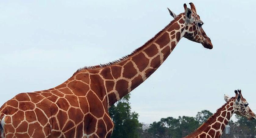 Zwierzęta, Ucieczka zwierząt Pradze błąkają żyrafy [prima aprilis] - zdjęcie, fotografia