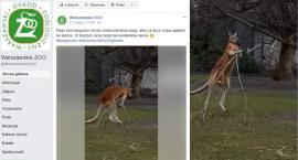 Waleczny kangur z warszawskiego ZOO [FILM]