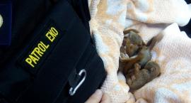 Trzema młodziutkimi wiewiórkami zaopiekowali się strażnicy miejscy