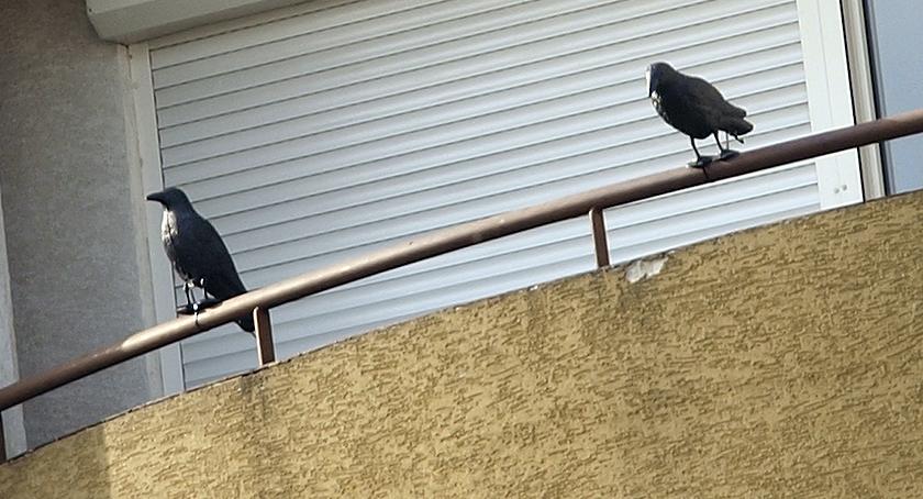 Zwierzęta Śródmieścia , Ptaszki - zdjęcie, fotografia