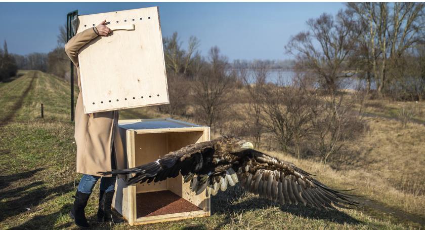 Zwierzęta , Szczęśliwe zakończenie historii Orła Bielika - zdjęcie, fotografia