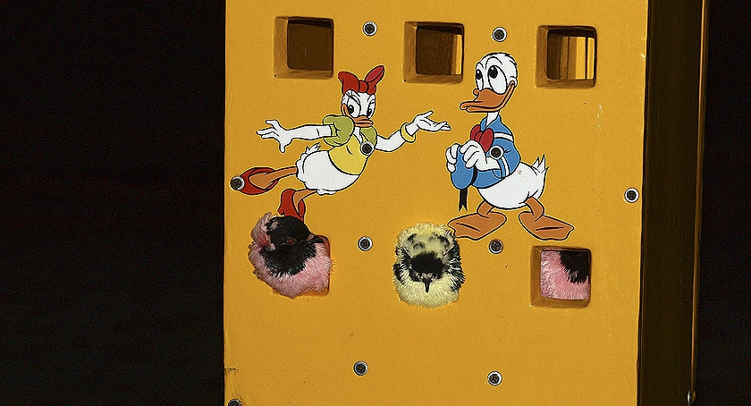 Zwierzęta , Farbowane Gołębie skandaliczny - zdjęcie, fotografia