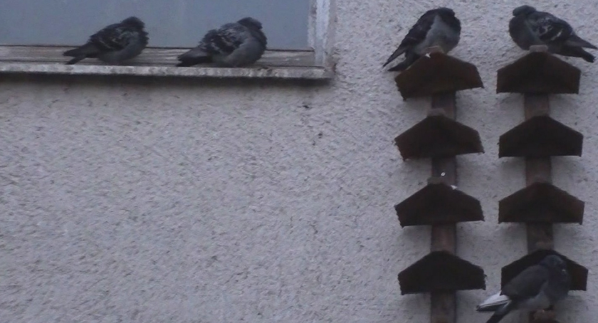 Zwierzęta, Sztuki znów przyjazny ptaków Gołębie mają swoje półki - zdjęcie, fotografia