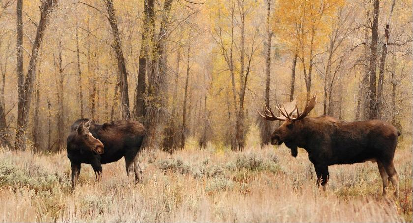 Zwierzęta, Łoś Lesie Kabackim będą następne - zdjęcie, fotografia
