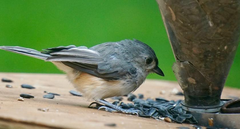 Zwierzęta, ursynowskie ptaki jedzą koszt ratusza - zdjęcie, fotografia