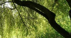 Ratunkiem dla wierzby z Wiolinowej może być uczynienie z niej pomnika przyrody