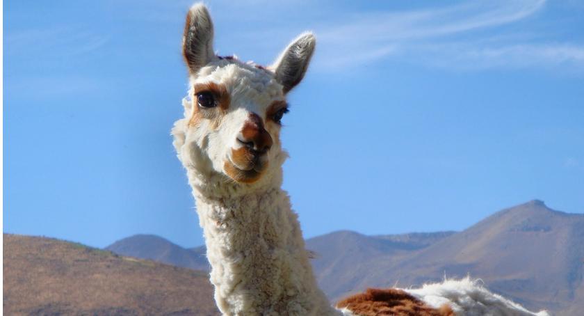 Zwierzęta, Rodzinna niedziela zwierzętami Ameryki Południowej - zdjęcie, fotografia