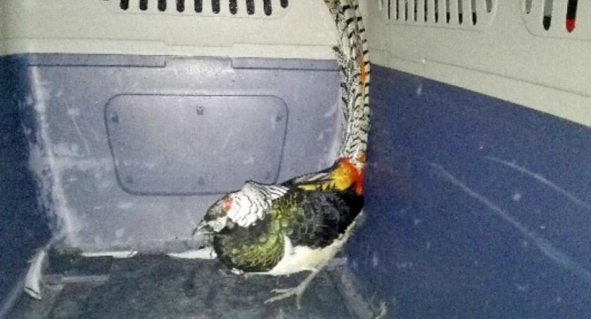 Zwierzęta, Uderzył szkoły padł Bażant diamentowy uratowany przez EKOpatrol - zdjęcie, fotografia