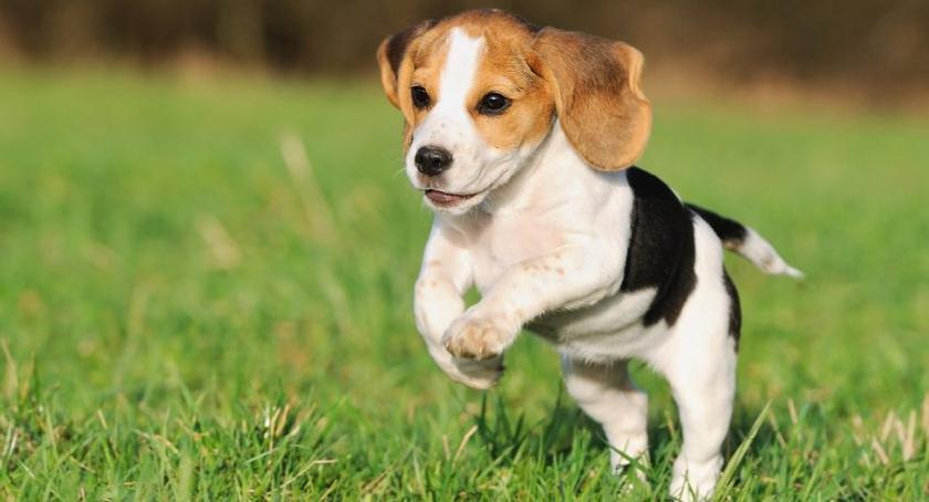 Imprezy, Niech Beagle podbije Twoje serce - zdjęcie, fotografia