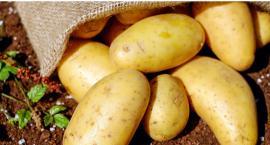Święto pieczonego ziemniaka na Woli