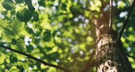 62 drzewa do wycięcia