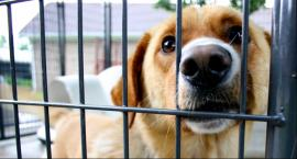 Plaga kradzieży psów rasowych w powiecie łowickim