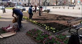 Trwa sadzenie bratków na miejskich skwerach