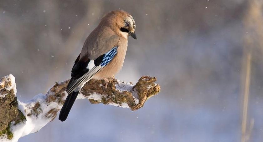 Zdjęcie sójki zimą - dokarmianie tego ptaka jest dość proste.
