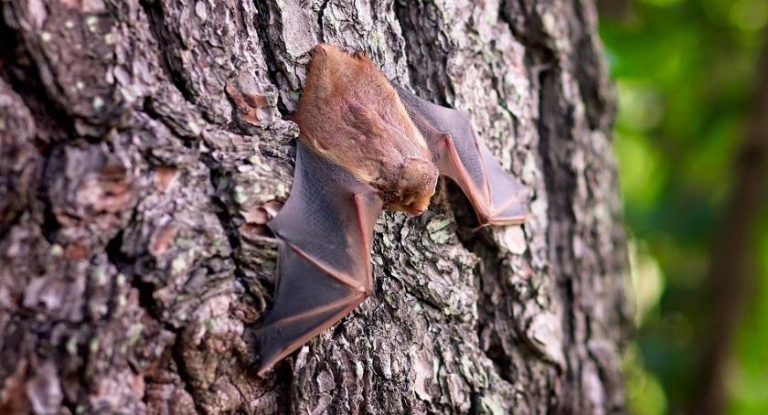 Nietoperze to bardzo rzadki i chroniony gatunek zwierząt, foto poglądowe.