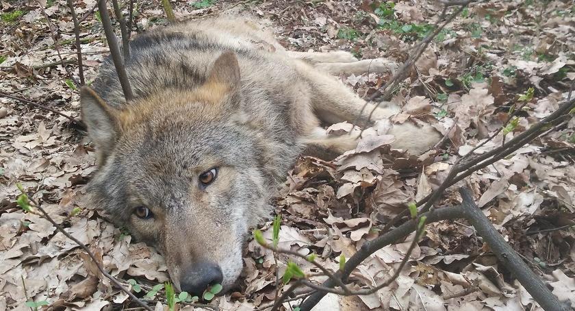 Foto Adam Olszewski, RDLP Olsztyn: potrącony wilk wraca do zdrowia