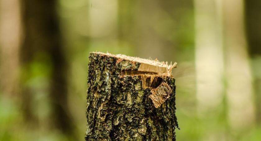 Kampinoski Park Narodowy, wycinka drzew konieczna - zdjęcie, fotografia