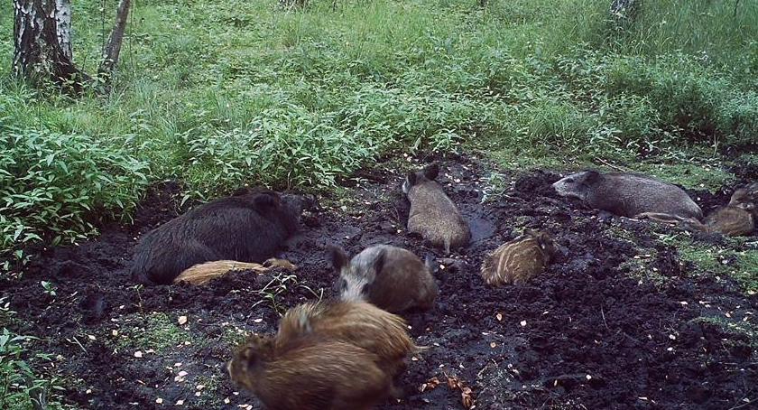 Ciekawostki, Kampinoskie dziki kocha mniej - zdjęcie, fotografia