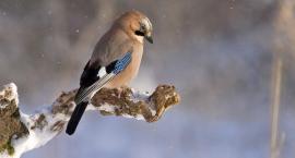 Dokarmianie ptaków: rób to zgłową