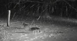 Transmisja online z puszczy: wilki atakują ofiarę i dostają po nosie