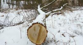 Nowa ustawa o ochronie przyrody: drzewa już lecą