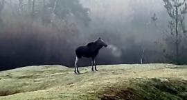 Dziwne zachowanie łosia w Kampinoskim Parku Narodowym video