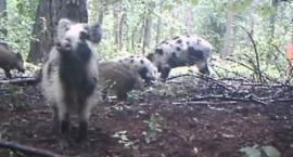Nietypowe dziki w Kampinoskim Parku Narodowym