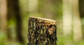 Czy wycinka drzew w KPN jest konieczna?