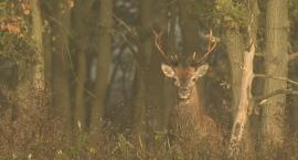 Rykowisko jeleni - przepiękne zdjęcia z Puszczy Kampinoskiej