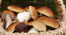 Borowik szlachetny - poznaj bogactwo zalet oraz wartości odżywczych borowików