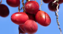 Daktyle w diecie dzieci – jakie wartości mają te wspaniałe owoce