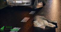 Dzik wpadł pod samochód